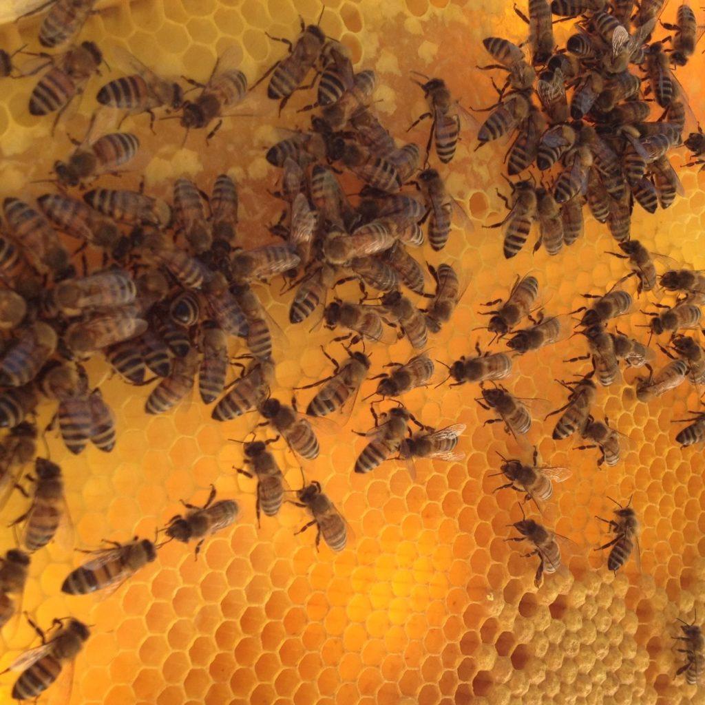 L'IA scova il parassita succhia sangue che minaccia le api