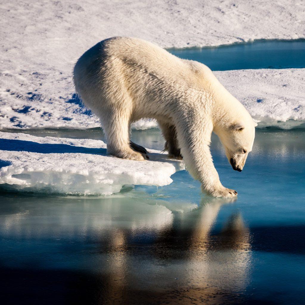 Orsi polari invadono paesino russo: negato l'abbattimento
